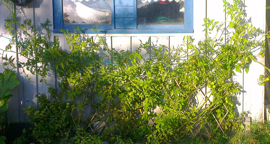En vegg av tomater